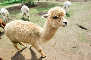 マザー牧場の見所を紹介!たくさんの動物と心ゆくまでふれ合う