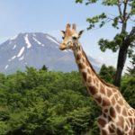 ライド型動物園である富士サファリパークの見所を紹介!