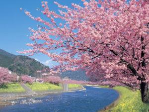 一足早く春を体感しに出掛けよう!河津桜まつり