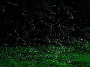 ホタル祭りも満載!甲信越(新潟・山梨・長野)のホタル観賞スポット2019