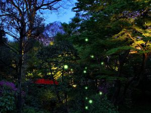 ホタルはいつ飛ぶ?椿山荘東京の検証と子ども連れにおすすめのディナー