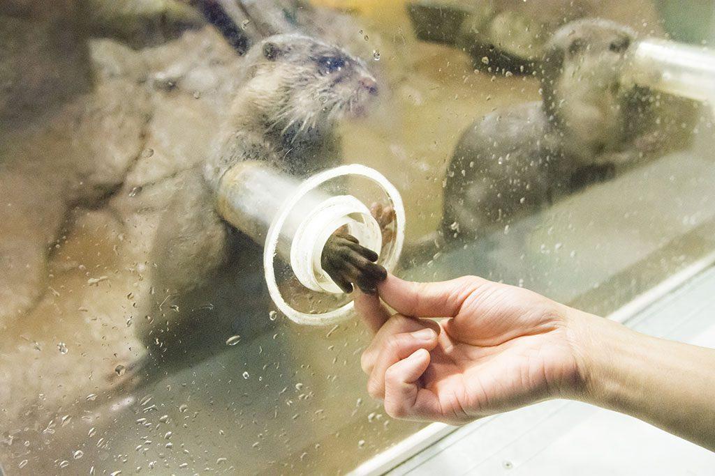 おやつをつかむときのカワウソの表情に注目/のとじま水族館(石川県/七尾市)